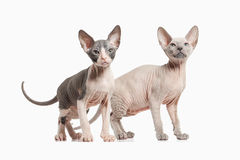 Cat. Several Don sphynx kittens on white background Royalty Free Stock Image