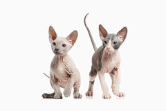 Cat. Several Don sphynx kittens on white background Stock Photography