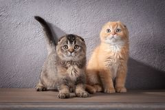 Free Cat. Several Scottish Fold Kittens On Wooden Table And Textured Stock Images - 104174174