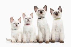Cat. Several Thai Kittens On White Background