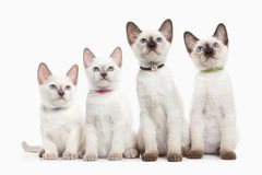 Cat. Several Thai Kittens On White Background Stock Images