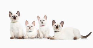 Cat. Several thai kittens on white background Royalty Free Stock Image