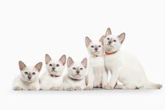Cat. Several thai kittens on white background Stock Photo