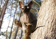 Cat. Sphynx IN the nature LANDSCAPE royalty free stock image
