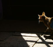 Cat in the shadows. Amba my Oriental cat lurking in the shadows Stock Photography