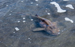 Cat Shark In Low Water. Wash up sand Shark, They are a wonderful Fish to look at Royalty Free Stock Image