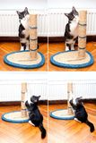 Cat sharpening claws. Cat scratching the rope cat post. Kitty sharpen claws. Cat sharpening claws using cat tree stock image
