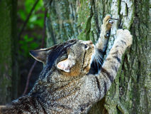 Cat sharpening claws on a tree. Gray tabby cat sharpening claws on a tree royalty free stock images