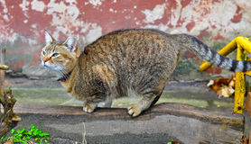 Cat sharpening its claws Royalty Free Stock Photos