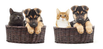 Cat and Shepherd puppy Royalty Free Stock Photos