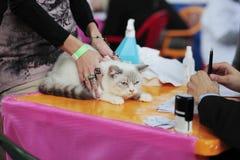 Cat at the show Stock Photos