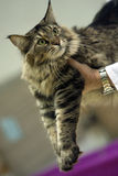 Cat at show Royalty Free Stock Image
