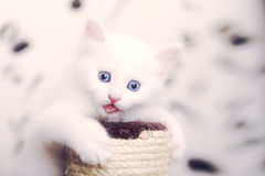 Cat showing tongue. Little cat plays on a stick Royalty Free Stock Images
