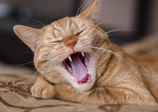 The cat shows fangs. cat teeth royalty free stock image