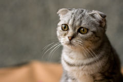 Cat from Shrek Royalty Free Stock Photo