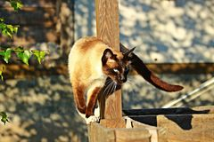 Cat, Siam, Siamese Cat, Mieze Stock Photography
