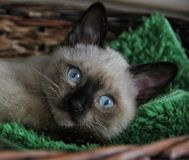 Cat. Siamese cat eyes sweety details Stock Photos