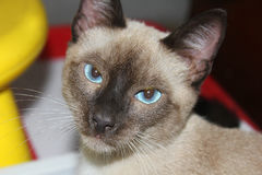 Cat siamese. The head of a siamese cat Royalty Free Stock Photo