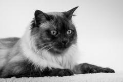 Cat Siamese met blauwe amandel-vormige ogen op een witte sprei, Binnenlandse kat kijkt merkwaardig uit in woonkamer stock foto