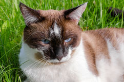 Cat Siamese outdoors Royalty Free Stock Photo