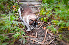 Cat Siamese outdoors Stock Photos