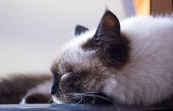 Cat siamese siberian color point fluffy. Portret macro Royalty Free Stock Photo