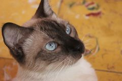 Cat, Siamese, Thai, Small To Medium Sized Cats Stock Images