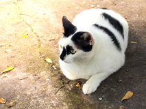 Cat. Siamese cat. White chubby. Fat cat close up Stock Photography