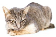 The cat sick as a Feline Calicivirus FCV. And Feline Herpesvirus FHV,Feline Parvovirus Enteritis on white background royalty free stock photo