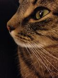 Cat silhouette. Silhouette of brown, black, and white cat with green eyes against black Royalty Free Stock Photos
