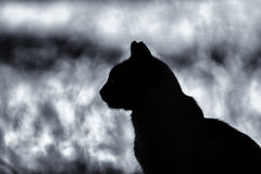 Cat silhouette. Comtemplative cat silhouette on a blurry background, black and white Royalty Free Stock Photography