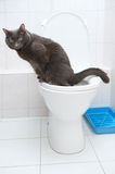 Cat of silver color in toilet stock photos