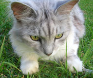 Cat- Silver Mackrel Tabby Siberian Royalty Free Stock Photos