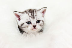 Cat silver tabby. Whiskas cat Silver Treasure silver tabby British Shorthair cats Stock Images
