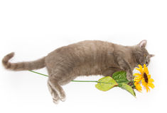 Cat with a single sunflower Stock Photos