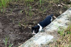 Cat with sinister look. Cat alone with sinister look in paddy field Stock Photography
