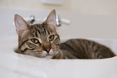 Cat in the Sink Royalty Free Stock Photos