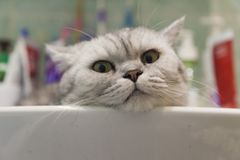 Cat in a sink Royalty Free Stock Photo