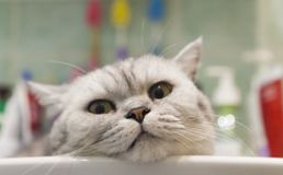 Cat in a sink Stock Photos