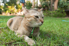 Cat sit on field. Cat sit on grass field and little close eyes Royalty Free Stock Images