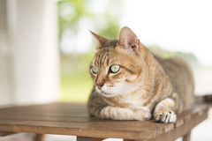 Cat sit on the table Royalty Free Stock Photo