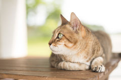 Cat sit on the table Royalty Free Stock Photos