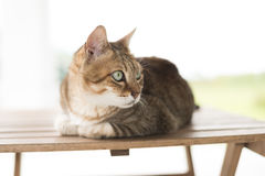 Cat sit on the table Royalty Free Stock Images