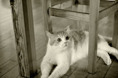 Cat sit under chair. A cat sit under chair,looking at you Royalty Free Stock Images