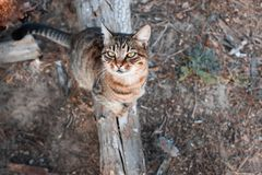 The cat sits on a branch in the forest and looks up Royalty Free Stock Images
