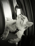 Cat sits in the car and looks upwards Stock Photography