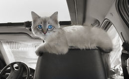 Cat sits in car on passenger sitting Stock Photo