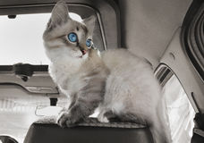 Cat sits in car on passenger sitting Stock Images