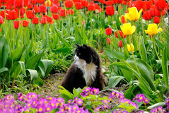 The cat sits among colorful tulips in garden Stock Image