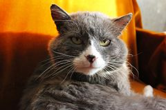 Portrait of a cat. Grey cat with green eyes. The cat in the house in the winter royalty free stock photography